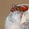 Gumbavapsvė - Andricus foecundatrix ??   Fotografijos autorius : Gintautas Steiblys   © Macrogamta.lt   Šis tinklapis priklauso bendruomenei kuri domisi makro fotografija ir fotografuoja gyvąjį makro pasaulį.