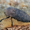 Blizgiavabalis - Capnodis tenebricosa | Fotografijos autorius : Gintautas Steiblys | © Macrogamta.lt | Šis tinklapis priklauso bendruomenei kuri domisi makro fotografija ir fotografuoja gyvąjį makro pasaulį.