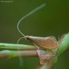 Ilgaūsė makštinė kandis - Nematopogon sp.   Fotografijos autorius : Žilvinas Pūtys   © Macrogamta.lt   Šis tinklapis priklauso bendruomenei kuri domisi makro fotografija ir fotografuoja gyvąjį makro pasaulį.