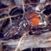 Ilgaūsis graibvabalis - Rybaxis longicornis | Fotografijos autorius : Romas Ferenca | © Macrogamta.lt | Šis tinklapis priklauso bendruomenei kuri domisi makro fotografija ir fotografuoja gyvąjį makro pasaulį.