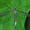 Ilgakojis uodas - Tipula lateralis | Fotografijos autorius : Gintautas Steiblys | © Macrogamta.lt | Šis tinklapis priklauso bendruomenei kuri domisi makro fotografija ir fotografuoja gyvąjį makro pasaulį.