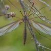 Ilgakojis uodas - Tipula oleracea ♀ | Fotografijos autorius : Žilvinas Pūtys | © Macrogamta.lt | Šis tinklapis priklauso bendruomenei kuri domisi makro fotografija ir fotografuoja gyvąjį makro pasaulį.