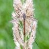 Ilgakojis uodas - Tipula paludosa | Fotografijos autorius : Kazimieras Martinaitis | © Macrogamta.lt | Šis tinklapis priklauso bendruomenei kuri domisi makro fotografija ir fotografuoja gyvąjį makro pasaulį.
