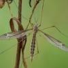 Ilgakojis uodas - Tipula pierrei ♀ | Fotografijos autorius : Žilvinas Pūtys | © Macrogamta.lt | Šis tinklapis priklauso bendruomenei kuri domisi makro fotografija ir fotografuoja gyvąjį makro pasaulį.
