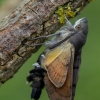 Ilgaliežuvis sfinksas - Macroglossum stellatarum  | Fotografijos autorius : Eglė Vičiuvienė (Černevičiūtė) | © Macrogamta.lt | Šis tinklapis priklauso bendruomenei kuri domisi makro fotografija ir fotografuoja gyvąjį makro pasaulį.