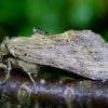 Ilganosis kuoduotis - Pterostoma palpinum | Fotografijos autorius : Romas Ferenca | © Macrogamta.lt | Šis tinklapis priklauso bendruomenei kuri domisi makro fotografija ir fotografuoja gyvąjį makro pasaulį.