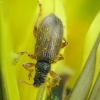 Ilgasis lapinukas - Phyllobius oblongus | Fotografijos autorius : Vidas Brazauskas | © Macrogamta.lt | Šis tinklapis priklauso bendruomenei kuri domisi makro fotografija ir fotografuoja gyvąjį makro pasaulį.