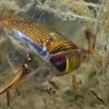 Irklablakė - Sigara sp. | Fotografijos autorius : Gintautas Steiblys | © Macrogamta.lt | Šis tinklapis priklauso bendruomenei kuri domisi makro fotografija ir fotografuoja gyvąjį makro pasaulį.