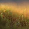 Jautrusis perkūnrugis - Funaria hygrometrica | Fotografijos autorius : Agnė Našlėnienė | © Macrogamta.lt | Šis tinklapis priklauso bendruomenei kuri domisi makro fotografija ir fotografuoja gyvąjį makro pasaulį.