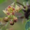 Juodasis serbentas - Ribes nigrum | Fotografijos autorius : Gintautas Steiblys | © Macrogamta.lt | Šis tinklapis priklauso bendruomenei kuri domisi makro fotografija ir fotografuoja gyvąjį makro pasaulį.