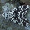 Juodmargis miškinukas - Panthea coenobita ♂ | Fotografijos autorius : Žilvinas Pūtys | © Macrogamta.lt | Šis tinklapis priklauso bendruomenei kuri domisi makro fotografija ir fotografuoja gyvąjį makro pasaulį.