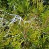Juodoji pušis - Pinus nigra | Fotografijos autorius : Gintautas Steiblys | © Macrogamta.lt | Šis tinklapis priklauso bendruomenei kuri domisi makro fotografija ir fotografuoja gyvąjį makro pasaulį.