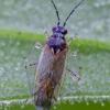 Juodpilkė žolblakė | Dicyphus globulifer | Fotografijos autorius : Darius Baužys | © Macrogamta.lt | Šis tinklapis priklauso bendruomenei kuri domisi makro fotografija ir fotografuoja gyvąjį makro pasaulį.