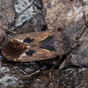 Juodrudė dirvablakė - Rhyparochromus pini | Fotografijos autorius : Žilvinas Pūtys | © Macrogamta.lt | Šis tinklapis priklauso bendruomenei kuri domisi makro fotografija ir fotografuoja gyvąjį makro pasaulį.