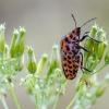 Juostelinė skydblakė   Italian striped-bug   Graphosoma italicum   Fotografijos autorius : Darius Baužys   © Macrogamta.lt   Šis tinklapis priklauso bendruomenei kuri domisi makro fotografija ir fotografuoja gyvąjį makro pasaulį.