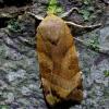 Juostuotasis dirvinukas - Noctua fimbriata | Fotografijos autorius : Romas Ferenca | © Macrogamta.lt | Šis tinklapis priklauso bendruomenei kuri domisi makro fotografija ir fotografuoja gyvąjį makro pasaulį.