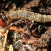 Drugio vikšras - Oecophoridae sp. | Fotografijos autorius : Ramunė Vakarė | © Macrogamta.lt | Šis tinklapis priklauso bendruomenei kuri domisi makro fotografija ir fotografuoja gyvąjį makro pasaulį.