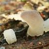 Drebutinis netikradyglis - Pseudohydnum gelatinosum | Fotografijos autorius : Gintautas Steiblys | © Macrogamta.lt | Šis tinklapis priklauso bendruomenei kuri domisi makro fotografija ir fotografuoja gyvąjį makro pasaulį.