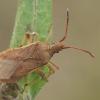Kampuotblakė - Ceraleptus lividus  | Fotografijos autorius : Gintautas Steiblys | © Macrogamta.lt | Šis tinklapis priklauso bendruomenei kuri domisi makro fotografija ir fotografuoja gyvąjį makro pasaulį.