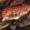 Ievinė pirmarūdė - Pucciniastrum areolatum | Fotografijos autorius : Gintautas Steiblys | © Macrogamta.lt | Šis tinklapis priklauso bendruomenei kuri domisi makro fotografija ir fotografuoja gyvąjį makro pasaulį.
