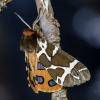 Keršoji meškutė | Fotografijos autorius : Darius Baužys | © Macrogamta.lt | Šis tinklapis priklauso bendruomenei kuri domisi makro fotografija ir fotografuoja gyvąjį makro pasaulį.