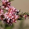 Keružinis migdolas - Prunus tenella | Fotografijos autorius : Ramunė Vakarė | © Macrogamta.lt | Šis tinklapis priklauso bendruomenei kuri domisi makro fotografija ir fotografuoja gyvąjį makro pasaulį.