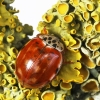 Keturdėmė boružė - Harmonia quadripunctata | Fotografijos autorius : Vaida Paznekaitė | © Macrogamta.lt | Šis tinklapis priklauso bendruomenei kuri domisi makro fotografija ir fotografuoja gyvąjį makro pasaulį.