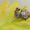 Pleištadėmis žnypliavoris - Larinioides patagiatus    Fotografijos autorius : Gintautas Steiblys   © Macrogamta.lt   Šis tinklapis priklauso bendruomenei kuri domisi makro fotografija ir fotografuoja gyvąjį makro pasaulį.