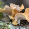 Kislioji skylėtbudė - Cerioporus varius   Fotografijos autorius : Ramunė Vakarė   © Macrogamta.lt   Šis tinklapis priklauso bendruomenei kuri domisi makro fotografija ir fotografuoja gyvąjį makro pasaulį.