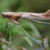 Klevinė gelsvadėmė kaloptilija - Caloptilia hemidactylella | Fotografijos autorius : Žilvinas Pūtys | © Macrogamta.lt | Šis tinklapis priklauso bendruomenei kuri domisi makro fotografija ir fotografuoja gyvąjį makro pasaulį.