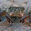 Krabas - Pachygrapsus transversus | Fotografijos autorius : Gintautas Steiblys | © Macrogamta.lt | Šis tinklapis priklauso bendruomenei kuri domisi makro fotografija ir fotografuoja gyvąjį makro pasaulį.