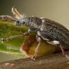 Kriaušinis lapinukas - Phyllobius pyri   Fotografijos autorius : Žilvinas Pūtys   © Macrogamta.lt   Šis tinklapis priklauso bendruomenei kuri domisi makro fotografija ir fotografuoja gyvąjį makro pasaulį.