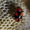 Kryžiuotasis pelėsiavabalis - Mycetina cruciata | Fotografijos autorius : Ramunė Vakarė | © Macrogamta.lt | Šis tinklapis priklauso bendruomenei kuri domisi makro fotografija ir fotografuoja gyvąjį makro pasaulį.