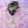 Kvapusis auksavabalis - Oxytherea funesta | Fotografijos autorius : Zita Gasiūnaitė | © Macrogamta.lt | Šis tinklapis priklauso bendruomenei kuri domisi makro fotografija ir fotografuoja gyvąjį makro pasaulį.
