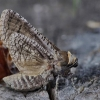 Kvapusis / Gluosninis medgręžis - Cossus cossus | Fotografijos autorius : Deividas Makavičius | © Macrogamta.lt | Šis tinklapis priklauso bendruomenei kuri domisi makro fotografija ir fotografuoja gyvąjį makro pasaulį.