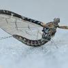 Lašalas - Cloeon dipterum | Fotografijos autorius : Gintautas Steiblys | © Macrogamta.lt | Šis tinklapis priklauso bendruomenei kuri domisi makro fotografija ir fotografuoja gyvąjį makro pasaulį.
