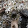 Dusia - Laccophilus minutus (Linneus, 1758) | Fotografijos autorius : Vitalii Alekseev | © Macrogamta.lt | Šis tinklapis priklauso bendruomenei kuri domisi makro fotografija ir fotografuoja gyvąjį makro pasaulį.