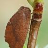 Lapasparnis - Drepanepteryx phalaenoides | Fotografijos autorius : Gintautas Steiblys | © Macrogamta.lt | Šis tinklapis priklauso bendruomenei kuri domisi makro fotografija ir fotografuoja gyvąjį makro pasaulį.