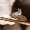 Lapasparnis - Micromus angulatus | Fotografijos autorius : Romas Ferenca | © Macrogamta.lt | Šis tinklapis priklauso bendruomenei kuri domisi makro fotografija ir fotografuoja gyvąjį makro pasaulį.