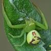 Lapinis žiedulis - Ebrechtella tricuspidata | Fotografijos autorius : Gintautas Steiblys | © Macrogamta.lt | Šis tinklapis priklauso bendruomenei kuri domisi makro fotografija ir fotografuoja gyvąjį makro pasaulį.