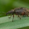 Lapinukas - Phyllobius glaucus | Fotografijos autorius : Žilvinas Pūtys | © Macrogamta.lt | Šis tinklapis priklauso bendruomenei kuri domisi makro fotografija ir fotografuoja gyvąjį makro pasaulį.