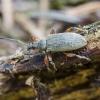 Lapinukas - Phyllobius glaucus | Fotografijos autorius : Kazimieras Martinaitis | © Macrogamta.lt | Šis tinklapis priklauso bendruomenei kuri domisi makro fotografija ir fotografuoja gyvąjį makro pasaulį.
