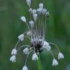 Laukinis česnakas - Allium oleraceum | Fotografijos autorius : Romas Ferenca | © Macrogamta.lt | Šis tinklapis priklauso bendruomenei kuri domisi makro fotografija ir fotografuoja gyvąjį makro pasaulį.