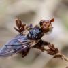 Lenktapilvė musė - Myopa testacea | Fotografijos autorius : Romas Ferenca | © Macrogamta.lt | Šis tinklapis priklauso bendruomenei kuri domisi makro fotografija ir fotografuoja gyvąjį makro pasaulį.