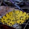 Leopardinis sprindžius - Pseudopanthera macularia | Fotografijos autorius : Romas Ferenca | © Macrogamta.lt | Šis tinklapis priklauso bendruomenei kuri domisi makro fotografija ir fotografuoja gyvąjį makro pasaulį.
