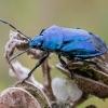 Mėlynoji skydblakė - Zicrona caerulea | Fotografijos autorius : Oskaras Venckus | © Macrogamta.lt | Šis tinklapis priklauso bendruomenei kuri domisi makro fotografija ir fotografuoja gyvąjį makro pasaulį.