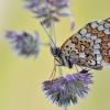 Didžioji šaškytė - Melitaea phoebe | Fotografijos autorius : Arūnas Eismantas | © Macrogamta.lt | Šis tinklapis priklauso bendruomenei kuri domisi makro fotografija ir fotografuoja gyvąjį makro pasaulį.