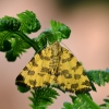 Leopardinis sprindžius - Pseudopanthera macularia | Fotografijos autorius : Arūnas Eismantas | © Macrogamta.lt | Šis tinklapis priklauso bendruomenei kuri domisi makro fotografija ir fotografuoja gyvąjį makro pasaulį.