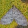 Mažasis žiemsprindis - Operophtera brumata ♂ | Fotografijos autorius : Žilvinas Pūtys | © Macrogamta.lt | Šis tinklapis priklauso bendruomenei kuri domisi makro fotografija ir fotografuoja gyvąjį makro pasaulį.