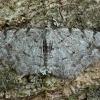 Mažasis žievėsprindis - Aethalura punctulata   Fotografijos autorius : Žilvinas Pūtys   © Macrogamta.lt   Šis tinklapis priklauso bendruomenei kuri domisi makro fotografija ir fotografuoja gyvąjį makro pasaulį.